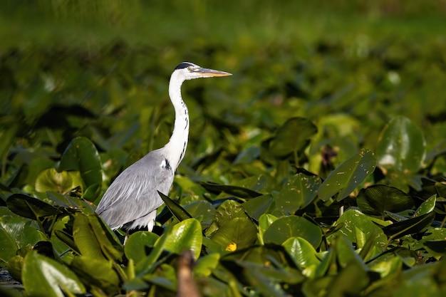 Серая цапля стоит в болоте, покрытом кувшинками в летней природе