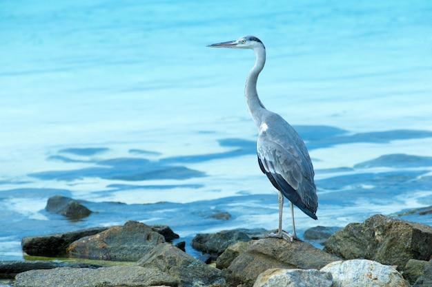 Серая цапля, стоящая на белом пляже на острове мальдивы