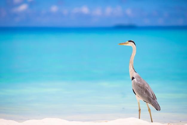 Grey heron standing on white beach on maldives island