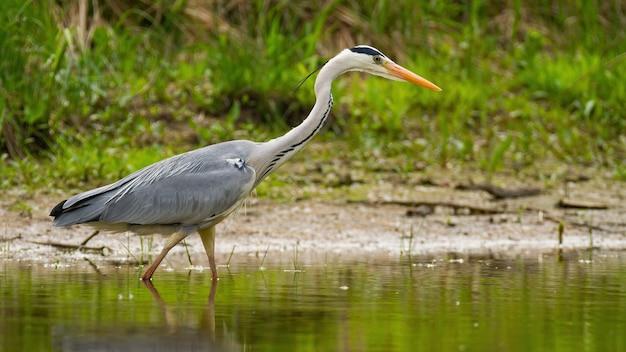 Grey heron walking in swamp in sunny summertime nature