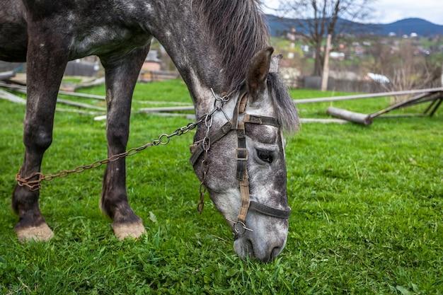 Серая лошадь красивая серая лошадь на летнем пастбище лошади яблочная прихрамывающая лошадь