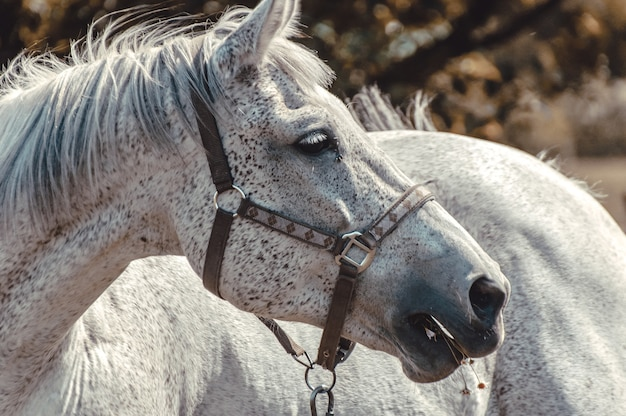 Grey horse closeup.