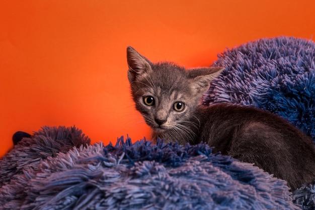 オレンジ色の背景の灰色の子猫