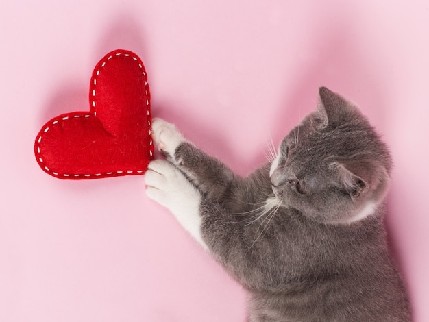 Grey kitten plays with red heart on pink
