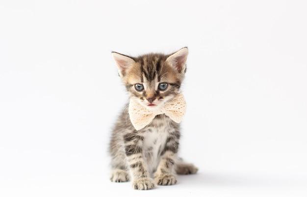 白い背景の上に座って見上げる彼の首に弓を持つ灰色の子猫。スコットランドの猫の肖像画。