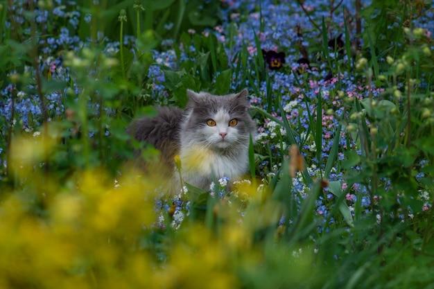 ワスレナグサの灰色の子猫。猫は青いワスレナグサの花に囲まれた夏の庭に座っています
