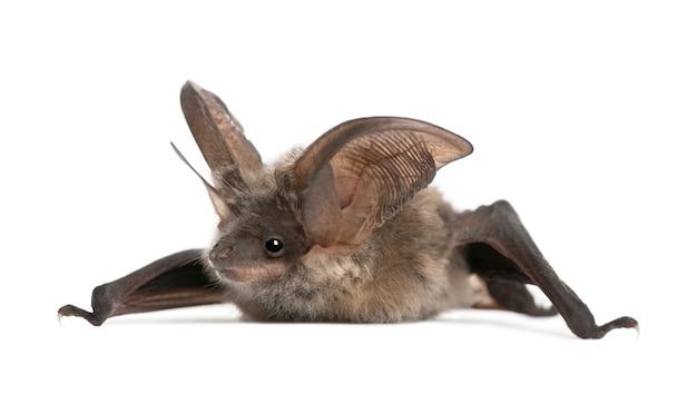 회색 귀가 긴 박쥐, plecotus astriacus, 흰색 절연에