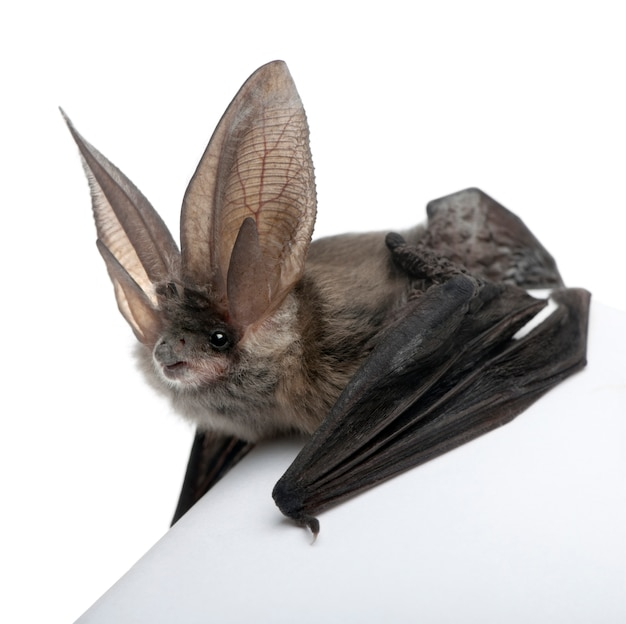 Grey long-eared bat, plecotus astriacus, on a white isolated,