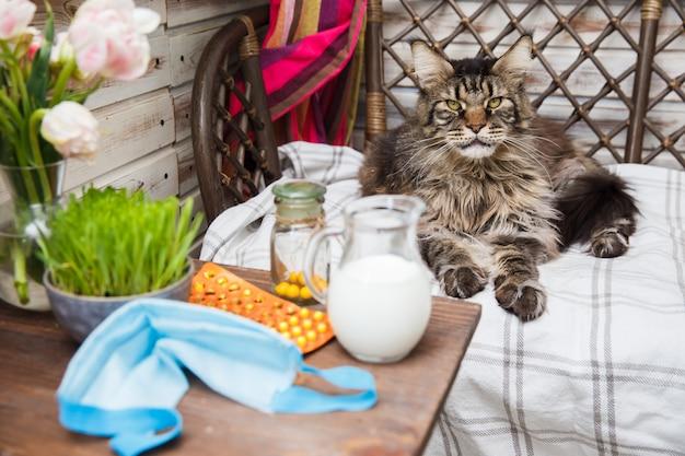 회색 메인 coon 고양이는 침대에 놓여 있습니다. 동물 건강. 고양이와 동물의 코로나 바이러스 질병. 호흡기 보호.