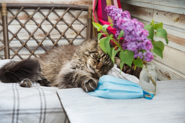 회색 메인 coon 고양이는 테이블에서 파란색 의료 마스크를 제거하려고합니다. 동물 건강. 고양이와 동물의 코로나 바이러스 질병. 호흡기 보호.