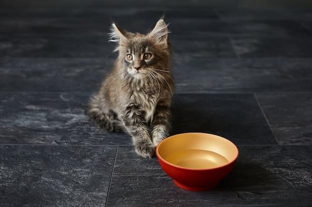 灰色のメインクーンの子猫は、暗い灰色の表面に分離された赤いセラミックプレートから水を飲みます