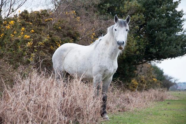 Grey new forest pony roaming free
