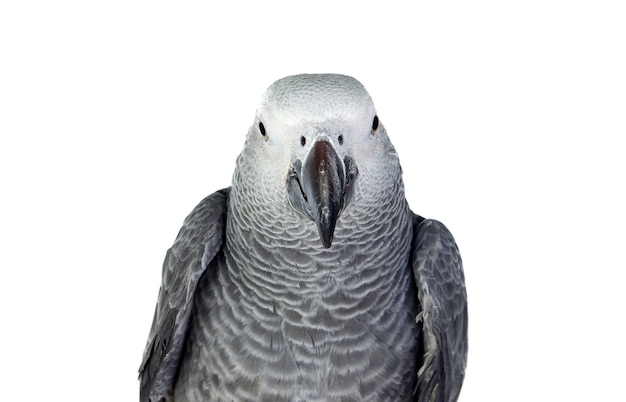 Grey parrot in front of white background