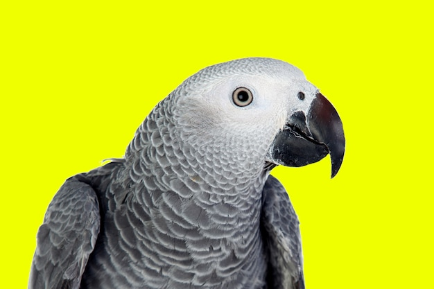 白い背景の前に灰色のオウム