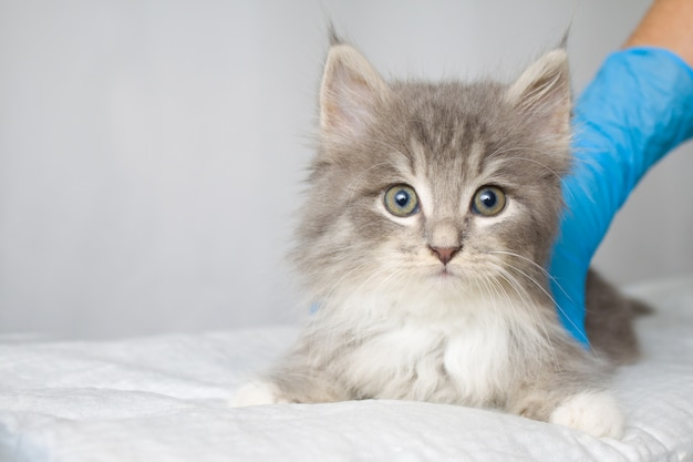 Grey persian little fluffy maine coon kitte at vet clinic and hands in blue gloves