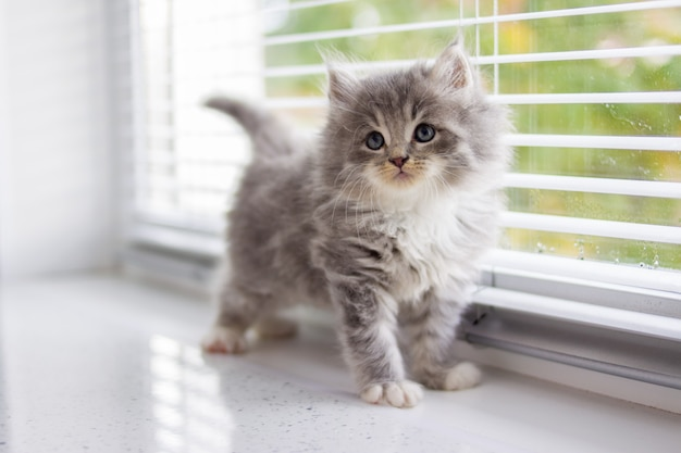 Grey persian little fluffy maine coon kitten stands near door window and looking up .