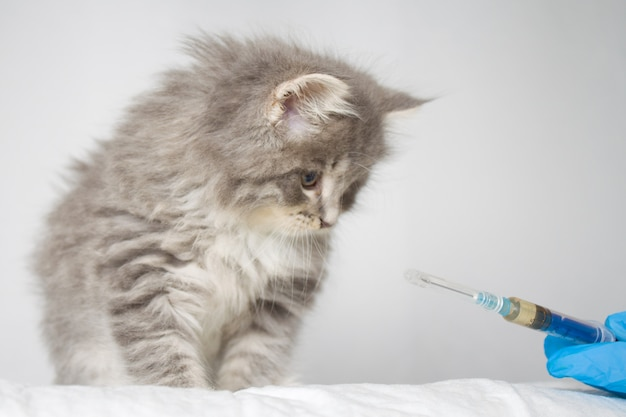獣医師が獣医クリニックでgrey persian littleふわふわメインクーンキットに注射をします。