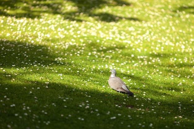 Grey pigeon walking by flowered meadow