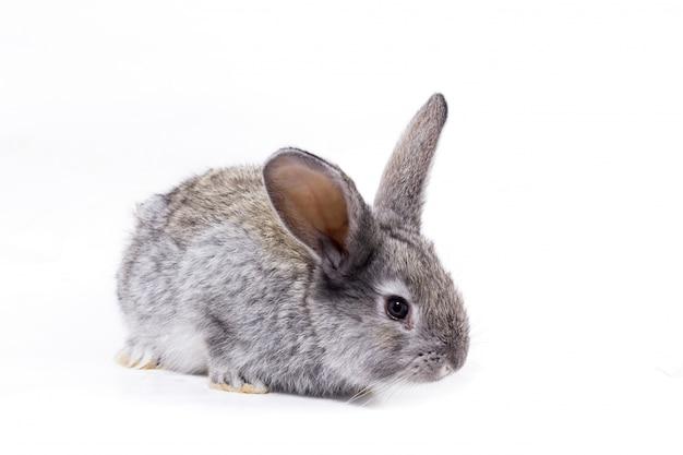 Grey rabbit isolate, beautiful decorative rabbit playing rabbit