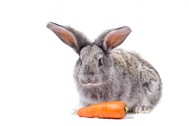 Grey rabbit isolate with carrots, decorative rabbit