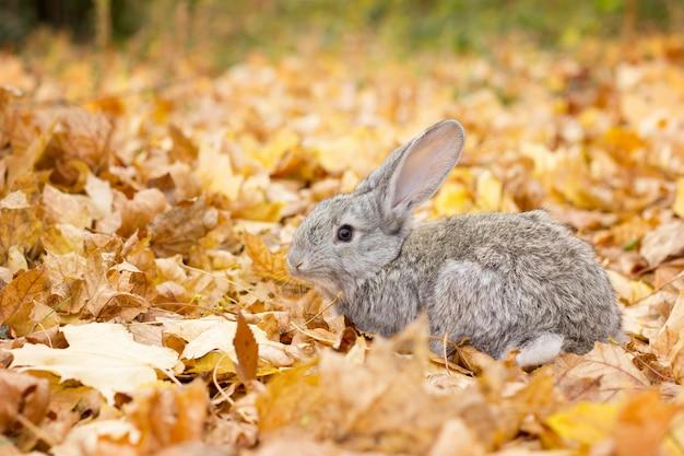 A grey rabbit in yellow leaves fall. autumn landscape. grey fluffy rabbit