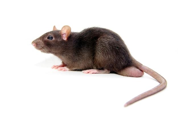 Серая крыса, изолированная на белом