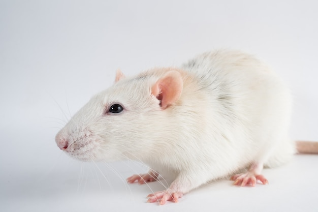 Серая крыса сидит на белом фоне.
