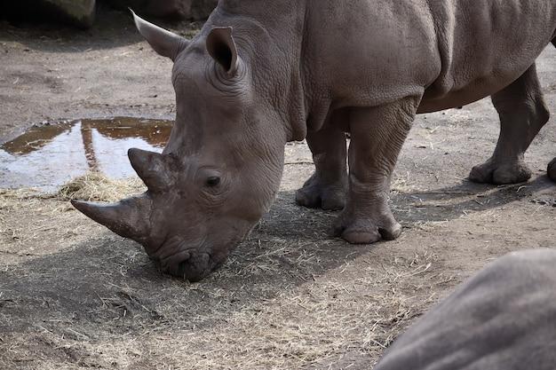 Rinoceronte grigio al pascolo durante il giorno