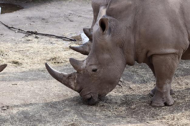 Grey rhinoceros grazing during the daytime