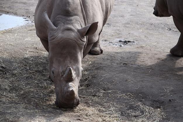 Серый носорог, пасущийся днем