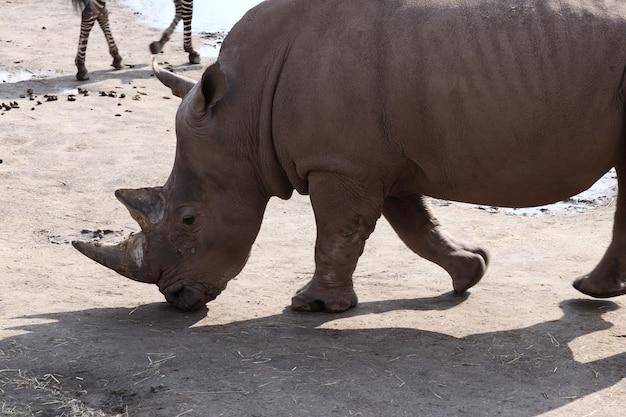 Серый носорог, стоящий на земле в дневное время