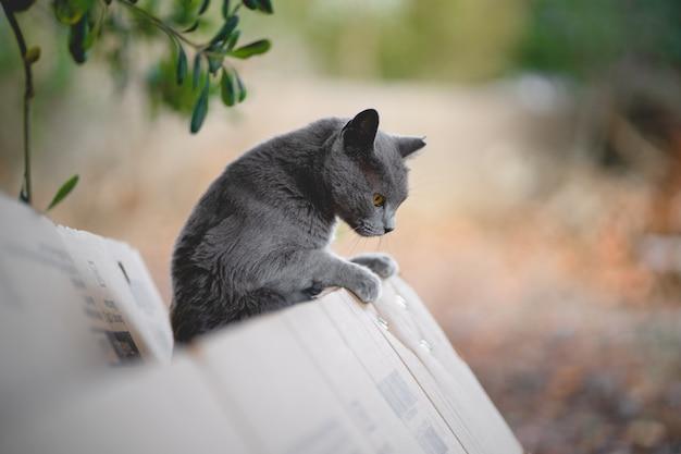 屋外の段ボール箱の外に傾いている灰色のロシアンブルーの猫