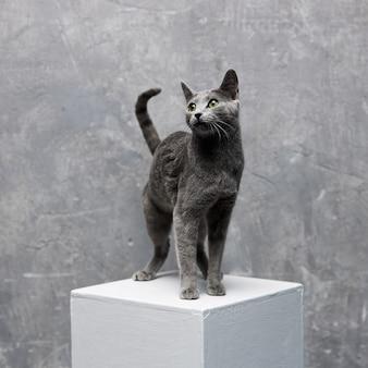 灰色のロシアンブルーの猫は灰色の背景に白い立方体の上に立っています