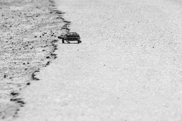Grey scale shot of a turtle walking on the warm asphalt of a road