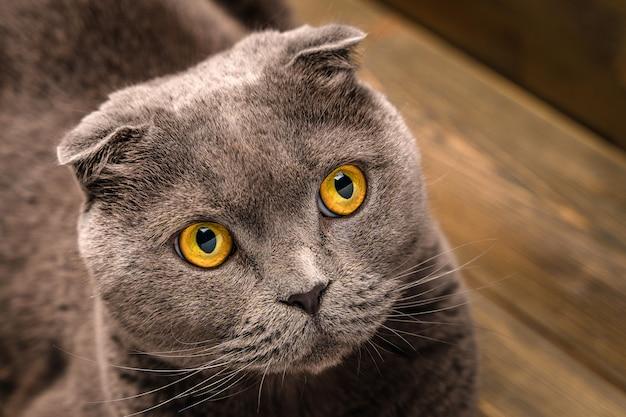나무 바탕에 회색 스코틀랜드 배 고양이