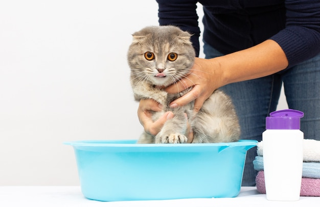 Серая шотландская вислоухая кошка принимает ванну со своим хозяином. она заботится о нем и тщательно моет его мех.