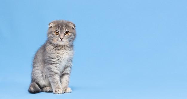 Grey scottish purebred cat is sitting