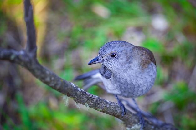 Grey shrike thrush - одинокая птица на ветке