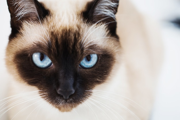 파란 눈 클로즈업 회색 샴 고양이입니다. 고양이의 얼굴