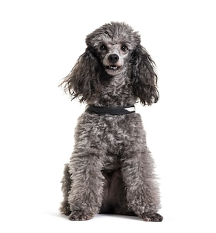 Grey sitting poodle dog, cut out