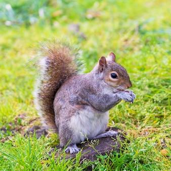 견과류를 먹는 회색 다람쥐