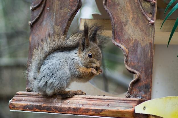 회색 다람쥐는 씨앗을 G 아 먹습니다. 프리미엄 사진