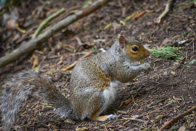 Grey squirrel is eating