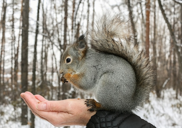 Grey squirrel sits on human hand and gnaws nuts