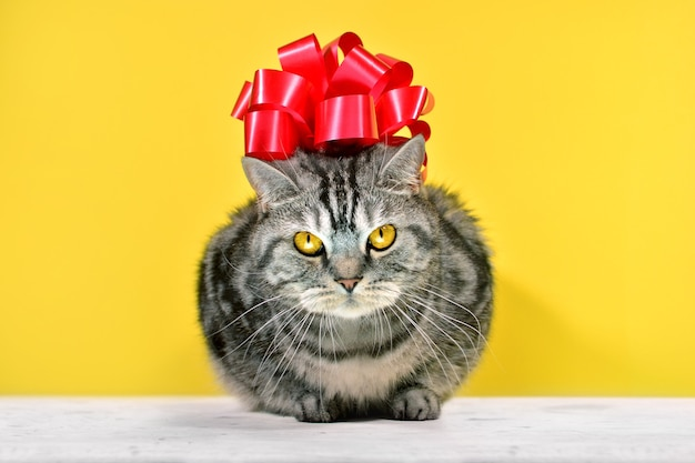 Grey striped british cat with big red bow on a head sitting on a yellow background.  gift card with funny cat portrait.