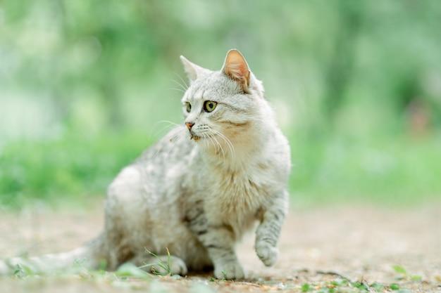 Серый полосатый кот утром гуляет по улице, желтоглазый и красивый. порода представляет собой смесь британских кошек. светло-серый кот крупным планом на улице. есть место для заметок
