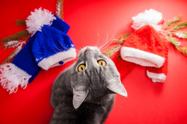 Grey tabby cat choosing a winter outfit on red.