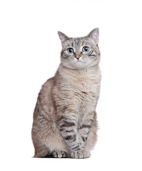 白い背景に座っている灰色のぶち猫