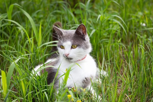 Grey white cat on green grass playing cat in summer