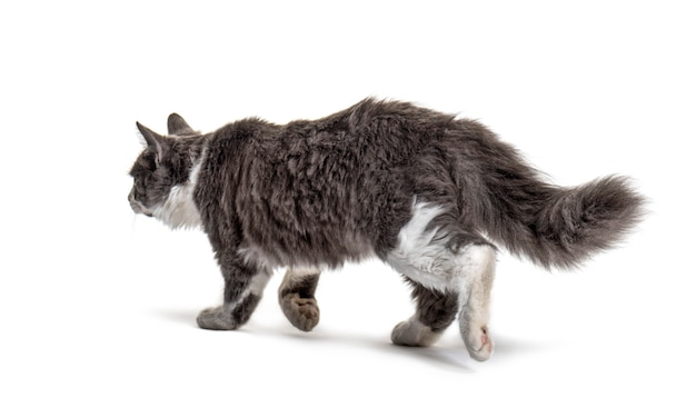 Grey and white crossbreed cat going away